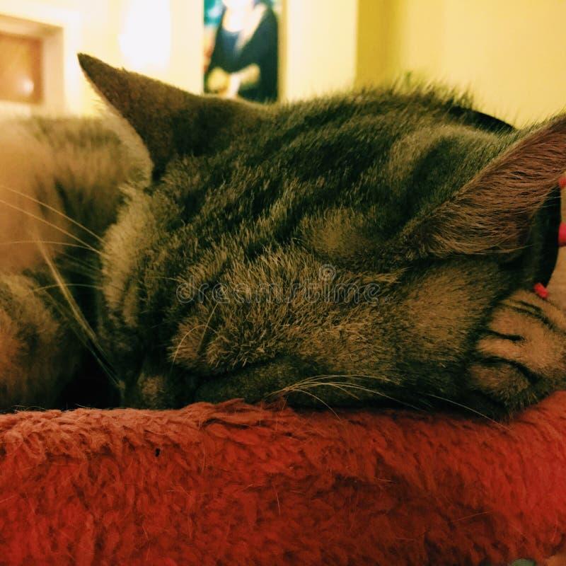 Kattenslaap op een rood kussen royalty-vrije stock fotografie