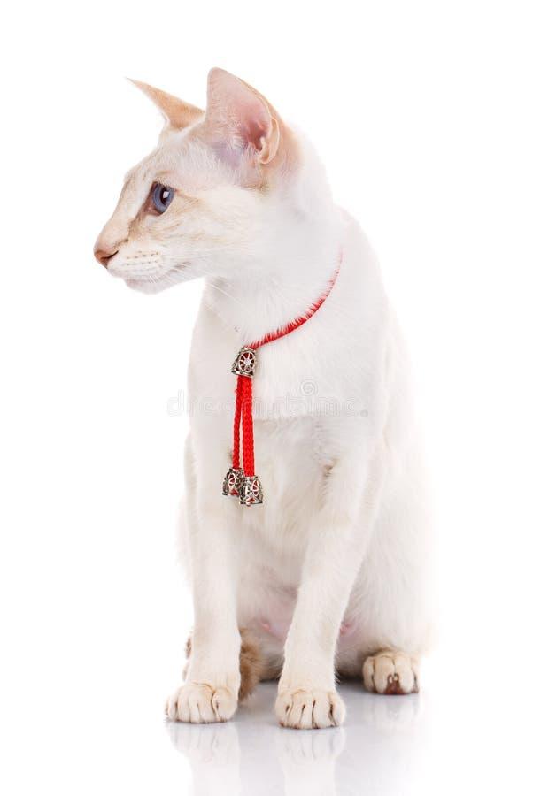 Kattenzitting op witte geïsoleerde achtergrond met rode kraag, stock fotografie