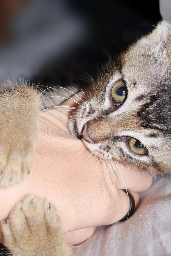 Katter biter en hand arkivbild