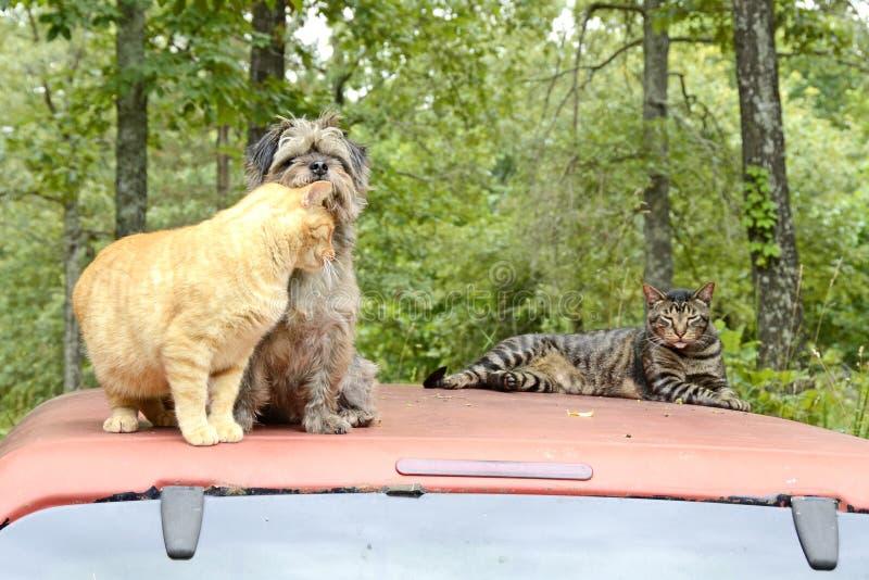 Katter och hundkapplöpning i den Missouri skogen arkivbilder