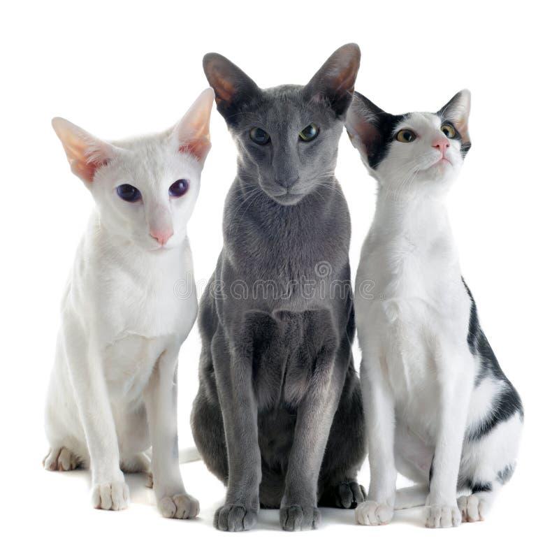 katter orientaliska tre royaltyfria bilder