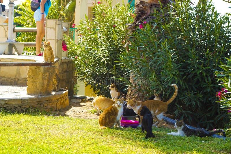 katter som matar strayen Grupphemlöskatter royaltyfri foto