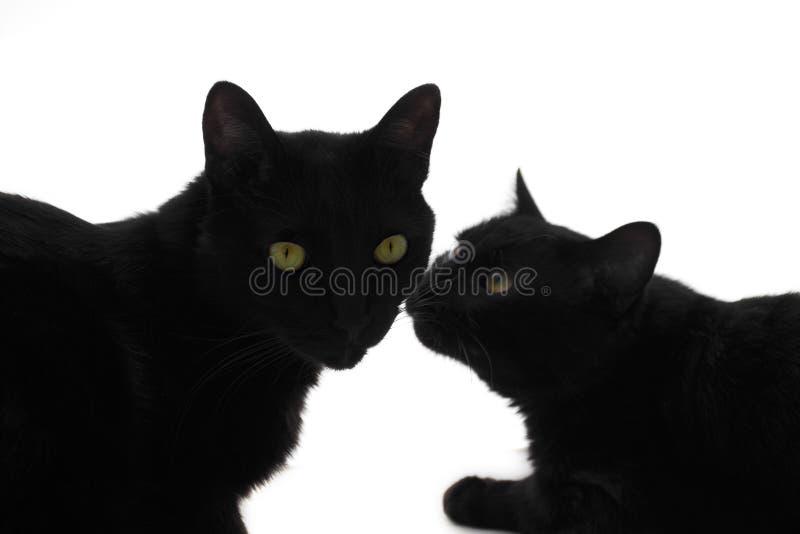 kattförälskelse s royaltyfria bilder