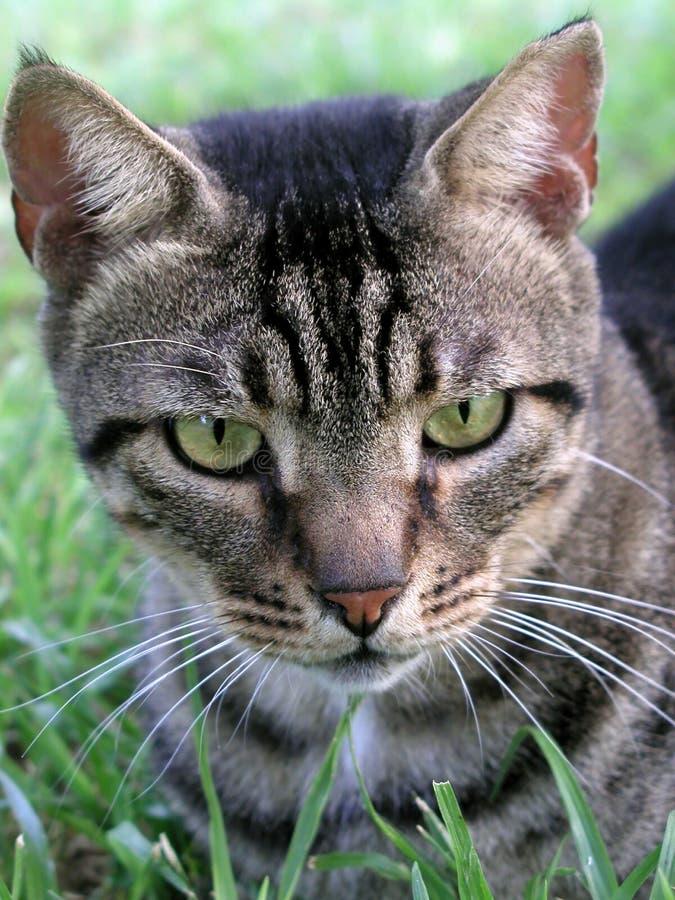 Download Kattgräs fotografering för bildbyråer. Bild av ögon, tabby - 278909