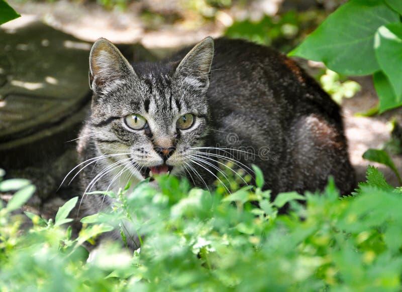 Kattgråt i gräset royaltyfria bilder