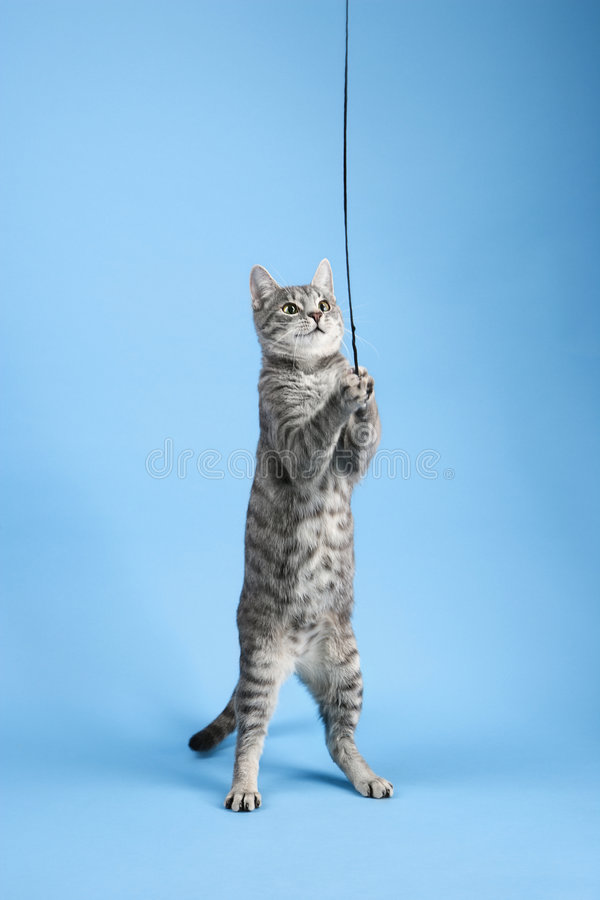 kattgray som leker den randiga toyen royaltyfria bilder