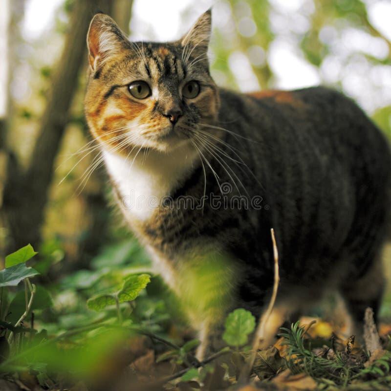 kattjakt arkivfoton