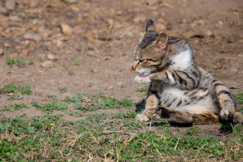 Kattkattunge som ligger på jordning och det rengörande främre benet arkivfoton