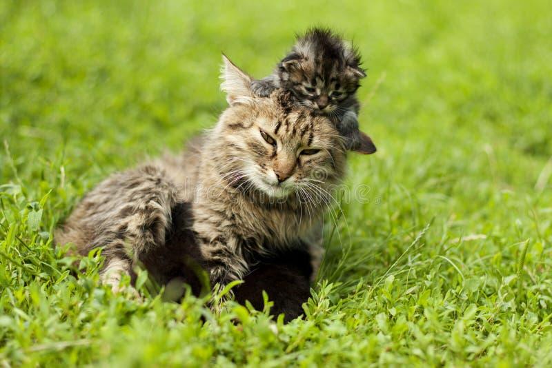 kattkvinnlig henne kattungar arkivfoton