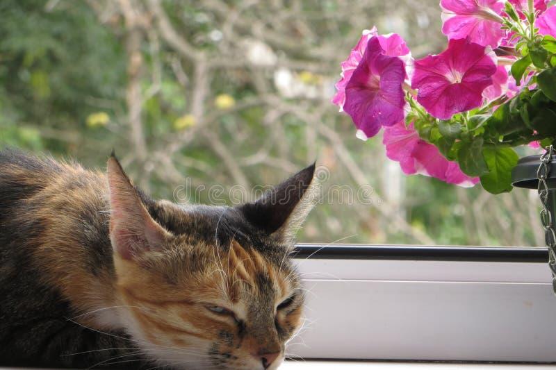 Kattlögner och har att vila i aftonsommar på fönsterbrädan nära petuniablomman royaltyfria foton
