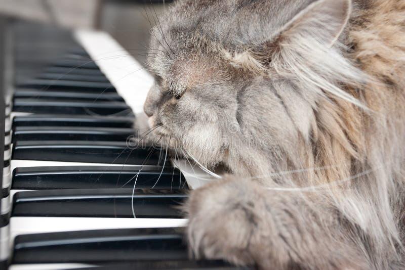 Kattpianist royaltyfri bild
