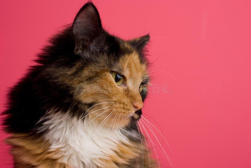 kattpink för calico 2 arkivbilder
