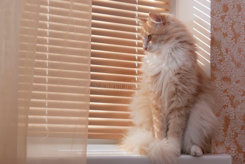 kattsiberianfönsterbräda fotografering för bildbyråer