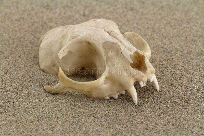 Kattskalle som grävas i ökensand arkivbild
