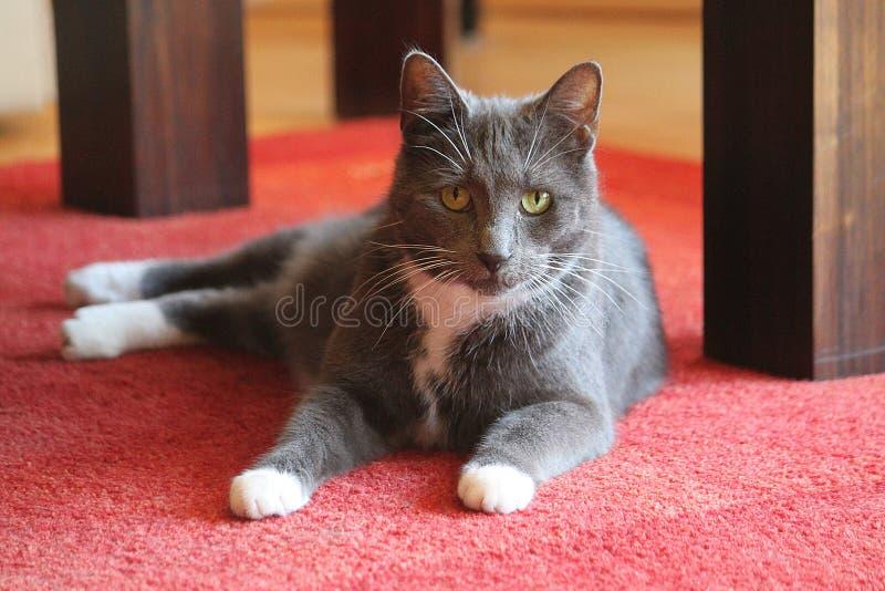 Kattstående på en röd matta royaltyfri foto