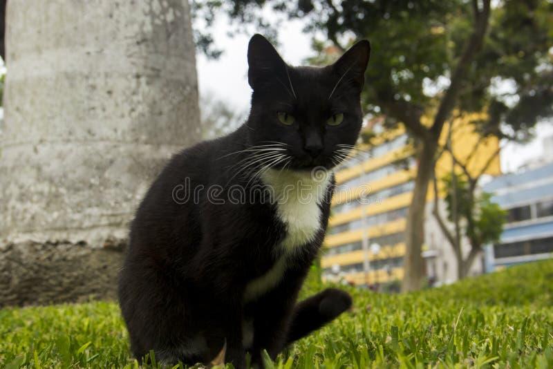 Kattsvart royaltyfria bilder
