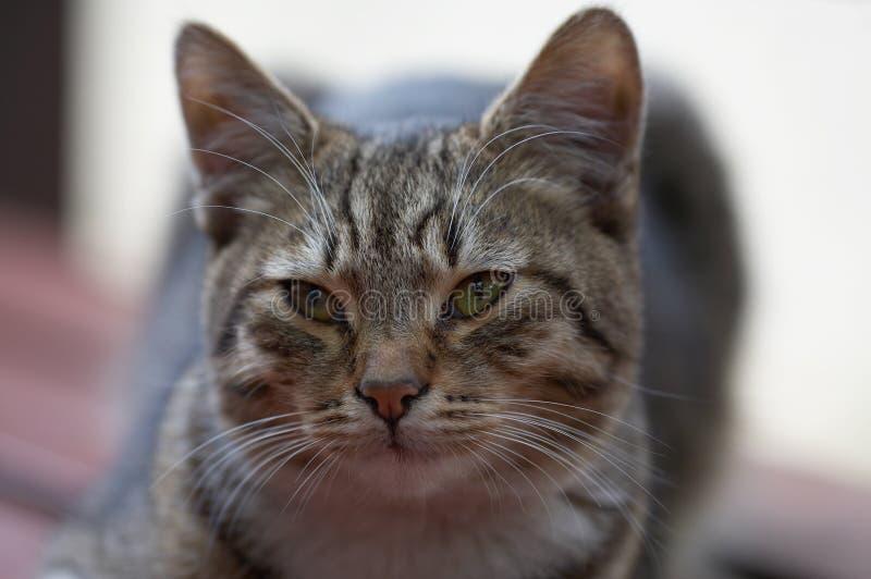katttabby fotografering för bildbyråer