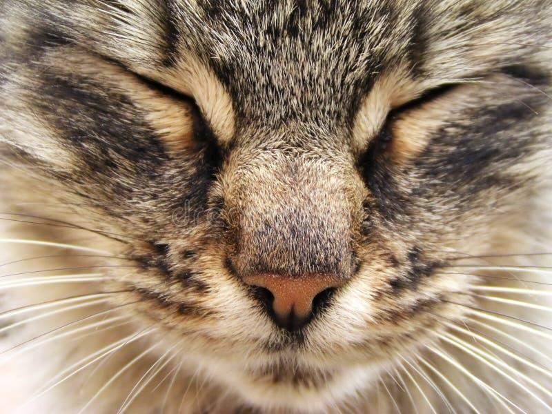 katttabby royaltyfria bilder