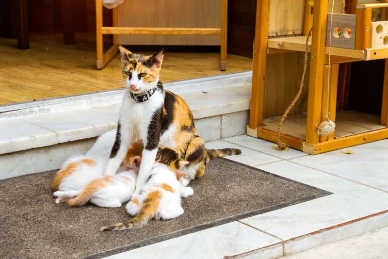 Kattungar för matning för huskatt crete greece rethymno royaltyfri bild