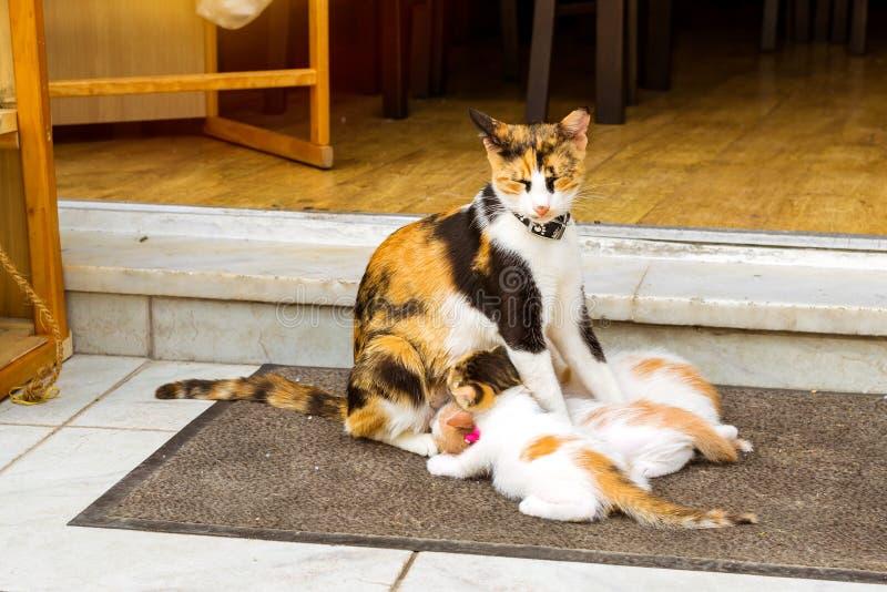 Kattungar för matning för huskatt crete greece rethymno royaltyfri foto