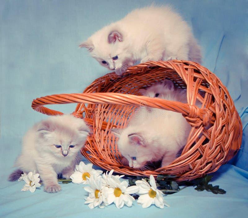 Kattungar i en korg 免版税库存照片