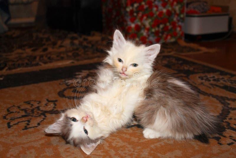 kattungar little som tillsammans leker två arkivbild