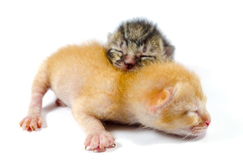 kattungar nyfödda två royaltyfria foton
