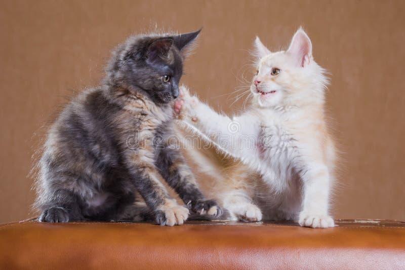 kattungar som leker två arkivbild