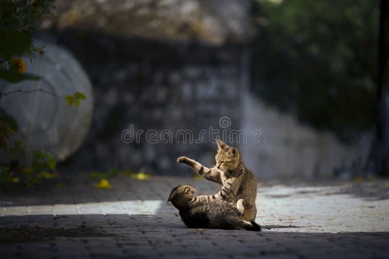 Kattungar som spelar på floren fotografering för bildbyråer