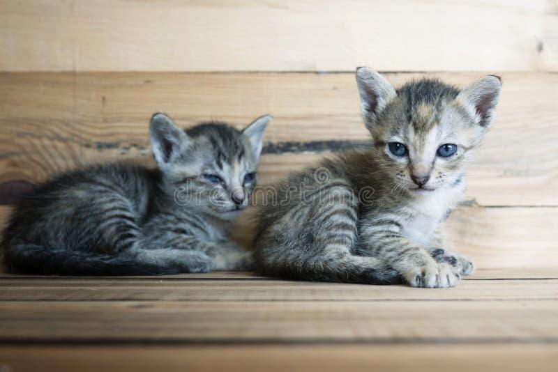 kattungar som tillsammans leker två arkivbilder