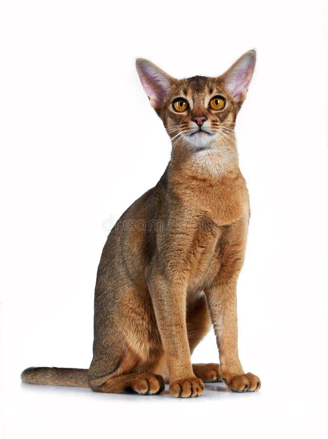 Kattunge av den abyssinian aveln. royaltyfri fotografi