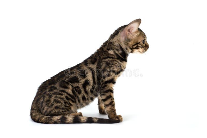Kattunge bengal som isoleras på vit arkivfoton