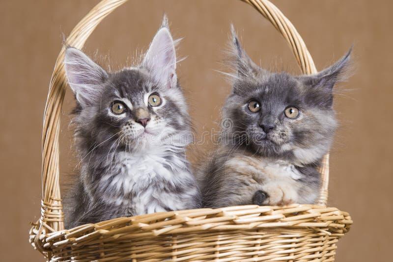 Kattunge för två Maine Coon i en korg royaltyfri foto