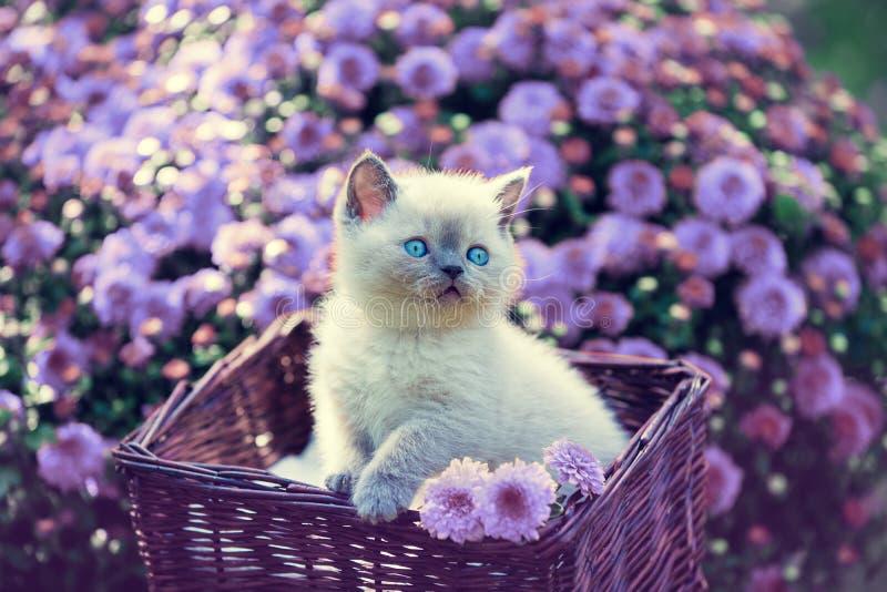 Kattunge i en korg i trädgården nära violetta tusenskönablommor fotografering för bildbyråer