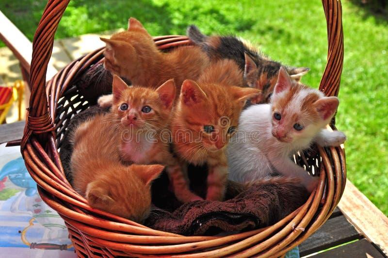 kattunge i korgen royaltyfria foton