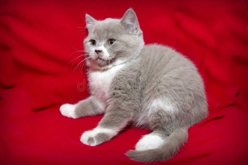 Kattunge på en röd bakgrund arkivfoto