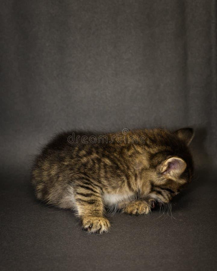 Kattunge på svart bakgrund i studio arkivfoto