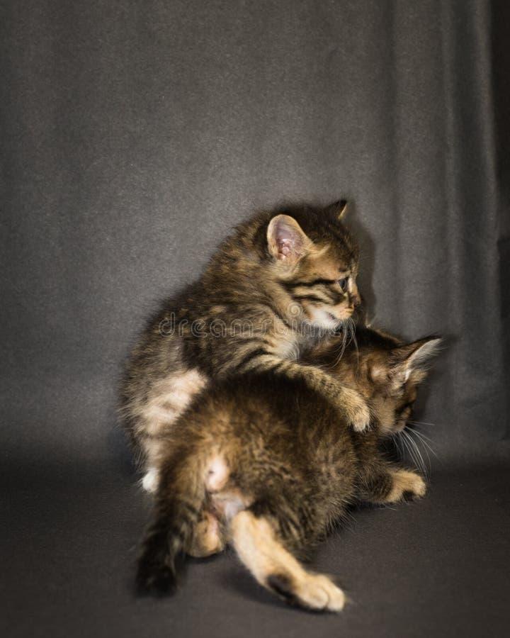 Kattunge på svart bakgrund i studio arkivbild