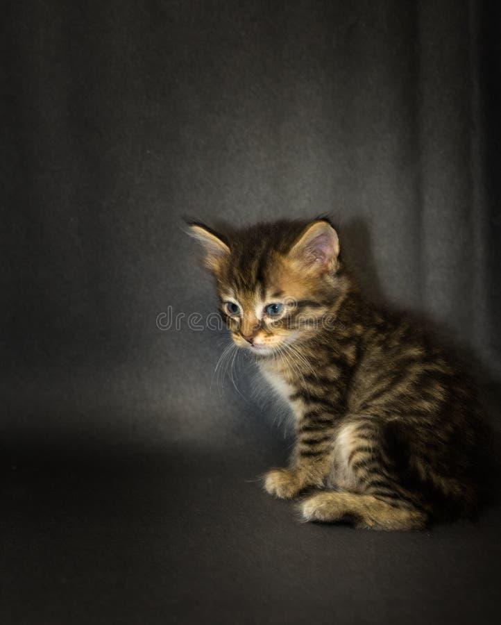 Kattunge på svart bakgrund i studio fotografering för bildbyråer