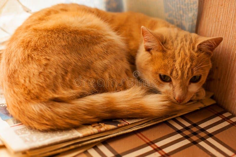 Kattunge som ligger på soffan Guld- kattnärbild royaltyfri foto
