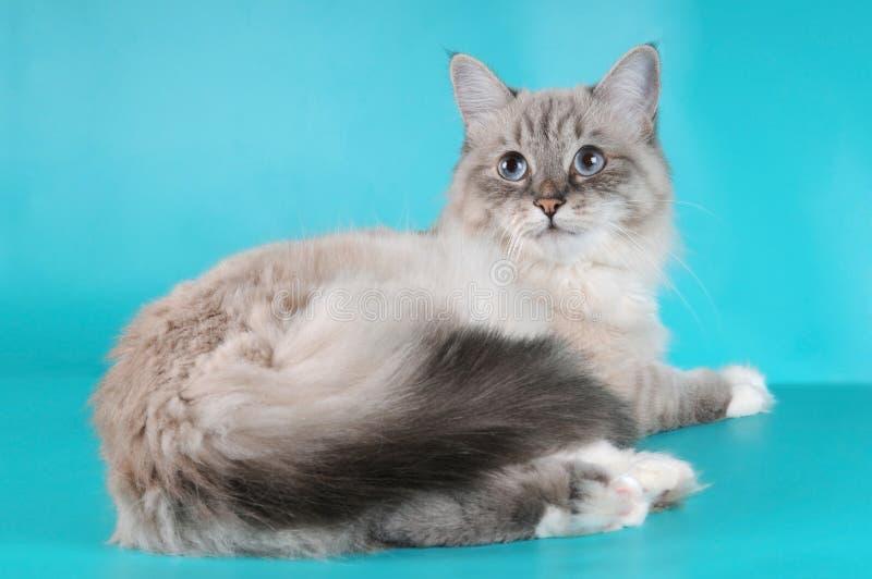 kattunge som ser den liggande siberianen royaltyfria foton