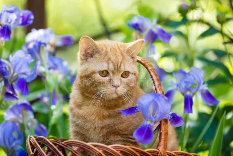 Kattunge som sitter i irisblommor i trädgården royaltyfria foton