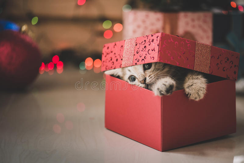 Kattunge som spelar i en gåvaask fotografering för bildbyråer