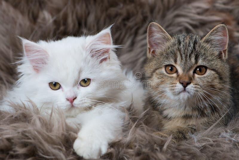 Kattunge som två ligger på en fårpäls arkivbild