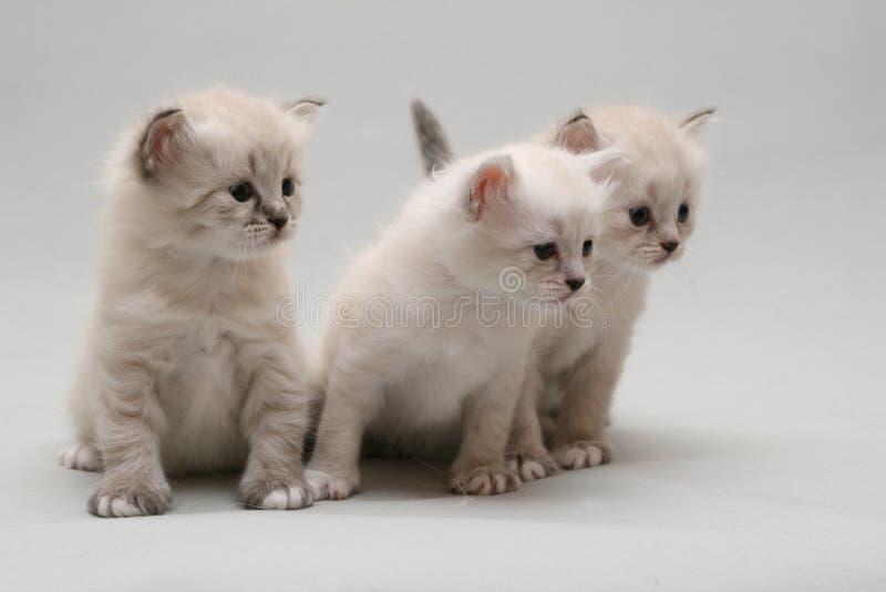 kattunge tre royaltyfria bilder