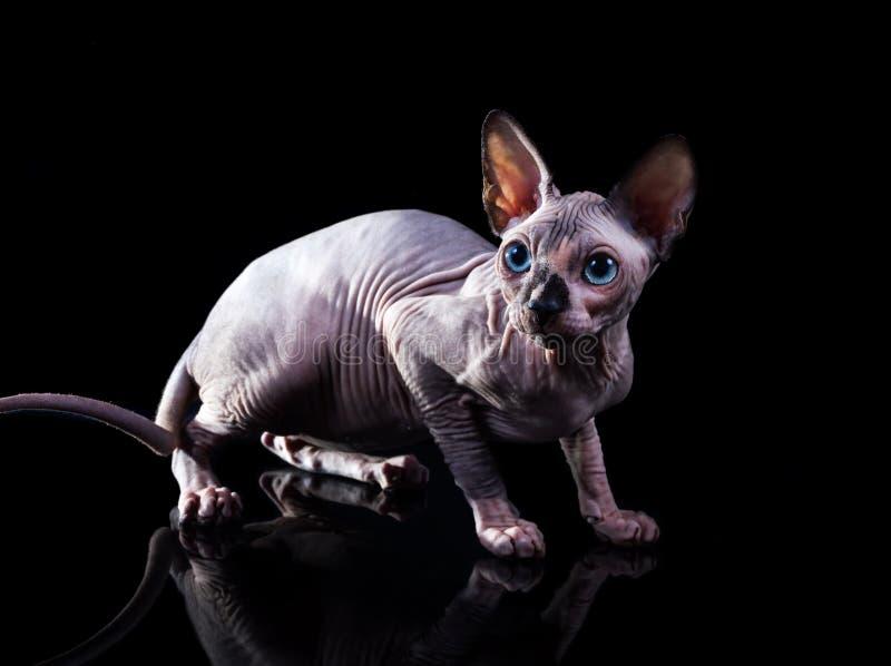 Kattungen den kanadensiska Sphynxen på en mörk bakgrund royaltyfri bild