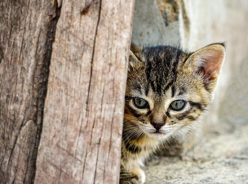 Kattungen kikar hans huvud bak ett bräde fotografering för bildbyråer