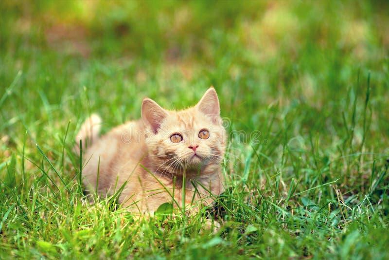 Kattungen ligger på gräset royaltyfria bilder