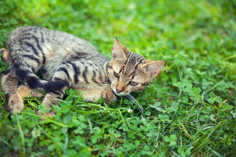 Kattungen ligger på växten av släktet Trifolium arkivfoton