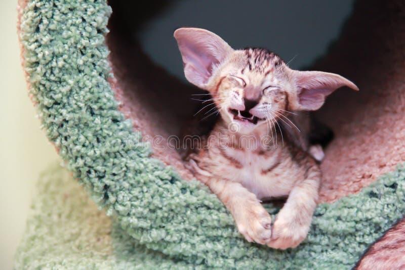 Kattungen skrattar gyckel royaltyfria bilder